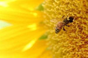 Closeup of a bee on a sunflower.